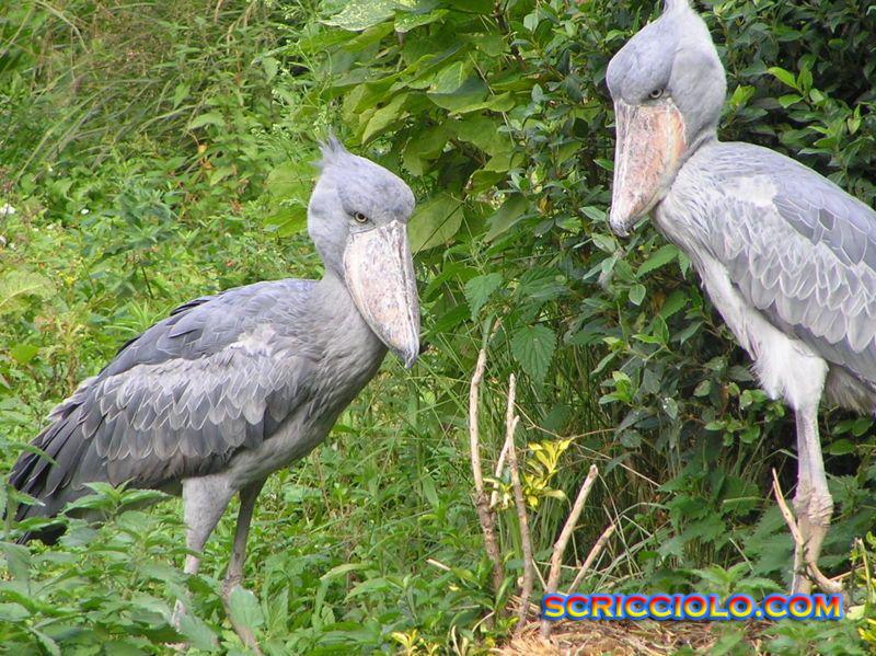 Keunikan Burung Raksasa Dan Langka Shoebill