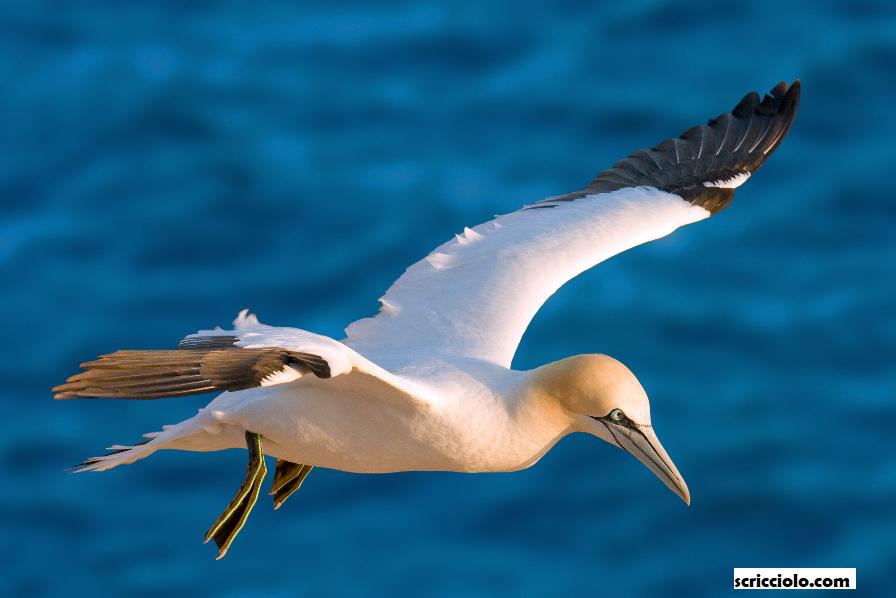 Northern Gannet Spesies Yang Dilupakan Oleh Persatuan IUCN