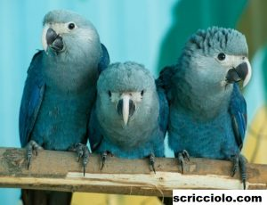 Biografi Spix's Macaw, Atau Di Panggil Cyanopsitta Spixii