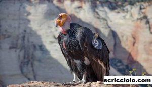 Burung California Condor Serta Spesies Yang Terancam Punah