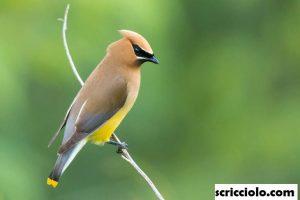 Pelajaran Penting Dari Burung Waxwing