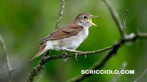 Burung Pelanduk