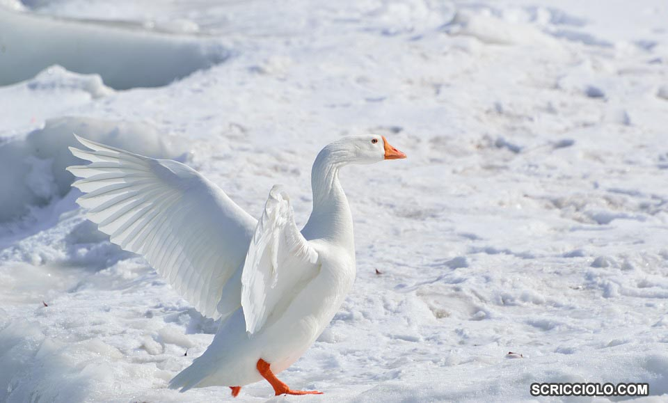 Mengenal Spesies Snow Goose (Angsa Salju)