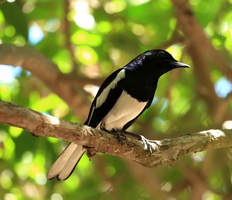 6 Panduan Berternak Burung Kacer