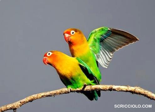 Bimbingan Metode Menjodohkan Burung Lovebird serta Kilat Menelur