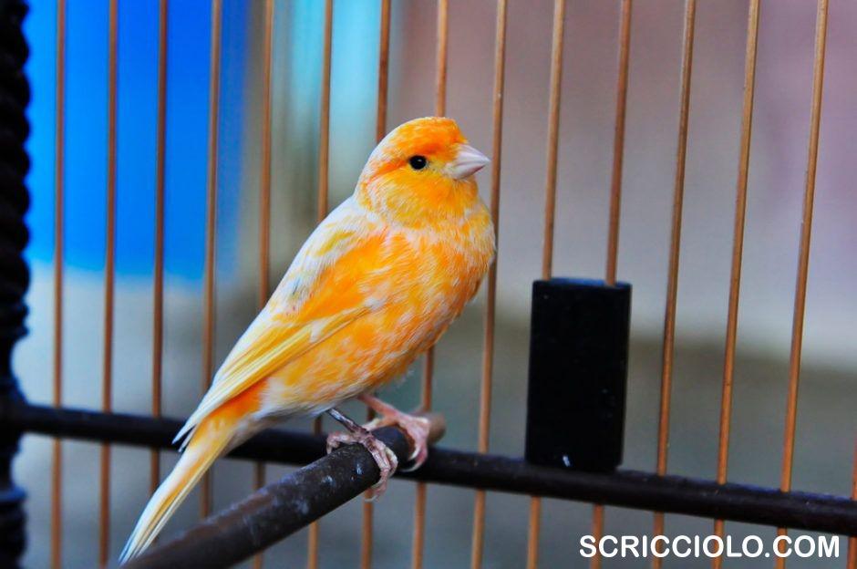 Panduan Pemeliharaan Burung Kenari buat Pemula