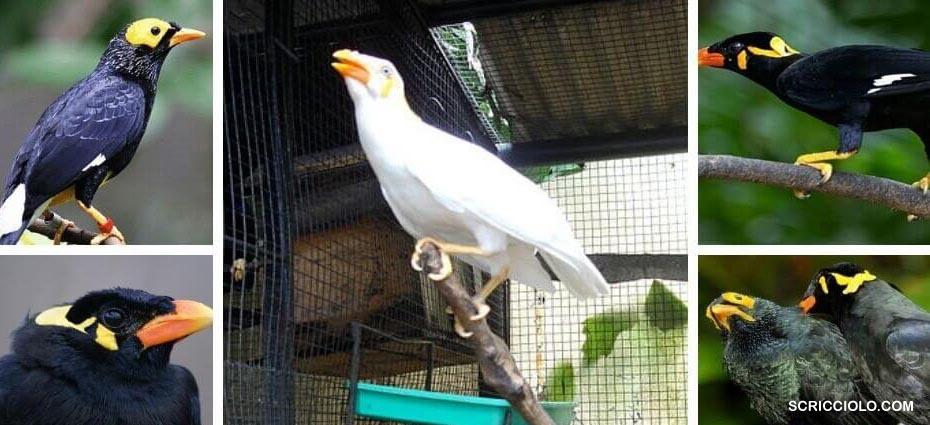 Jenis Burung Beo Berserta Merawatnya