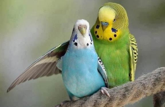 Berikut 5 Langkah Berternak Burung Parkit Bagi Pemula